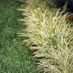 "Monkey Grass: ""Toler"