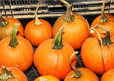 Growing Pumpkins & Winter Squash in South Carolina. Heirloom for Pies: Small Sugar or Cushaw Green-Striped Squash. Decorative Heirloom: Rouge Vif d'Etampes or Connecticut Field.