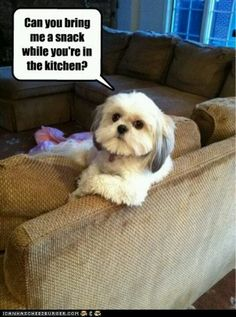"Click visit site and Check out Best ""Shih Tzu"" T-shirts. This website is top-notch. Tip: You can search ""your name"" or ""your favorite shirts"" at search bar on the top. Funny Dog Memes, Funny Animal Memes, Funny Animals, Most Hilarious Memes, Funny Animal Photos, Funny Animal Videos, Funny Dogs, Dankest Memes, Pet Memes"