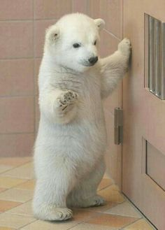 Hi! I really want a baby polar bear!LOL