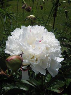 Festiva Maxima - både blomman och knopp är så vackra