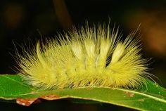Tussock Moth Caterpillar (Calliteara horsfieldii, Lymantriinae)