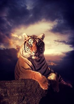 Tiger In The Rain animals tiger animal animal pictures animal gifs animal photos Animals And Pets, Funny Animals, Cute Animals, Tiger Pictures, Animal Pictures, Beautiful Cats, Animals Beautiful, Tiger Art, Wild Creatures