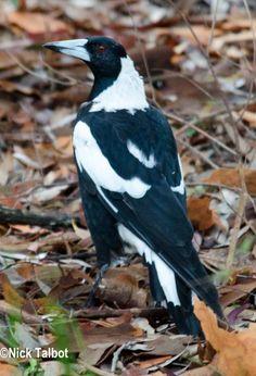 Australian Magpie (Cracticus tibicen) An adult bird on the ground. Beautiful Birds, Animals Beautiful, Bye Bye Blackbird, Jackdaw, Crows Ravens, Australian Animals, Butterfly Art, Magpie, Pet Birds