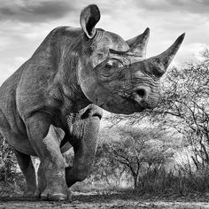 A rare rhino in the Mkomazi Game Reserve in Tanzania , where poaching since the has seen the population fall from 3000 to just 90 Animals Images, Animals And Pets, Wildlife Photography, Animal Photography, David Yarrow, Animals Black And White, Black White, Game Reserve, Tier Fotos