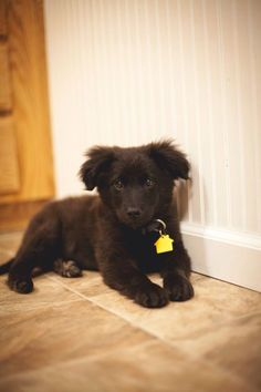 Black Lab/Australian Shepherd mix puppy