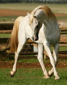Amrha Isar - Arabian gray (not perlino—cream gene not found in purebred Arabians) stallion endurance horse Horse Photos, Horse Pictures, Clydesdale Horses, Breyer Horses, Arabian Horses, Barrel Racing Horses, Most Beautiful Animals, All The Pretty Horses, Horses For Sale