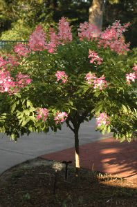 Pink Diamond Hydrangea Tree  Getting one of these for our front landscaping...love these.