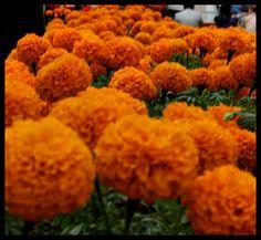 Flor de Muerto  Ofrenda Dia de Muertos Perisur by Diego Uriarte, via Flickr