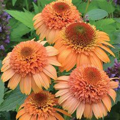 Best Perennials, Flowers Perennials, Planting Flowers, Flower Gardening, Orange Flowers, Beautiful Flowers, Brown Flowers, Terra Nova, Fleur Orange