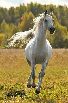 Arabian Horse named Grapes lol.