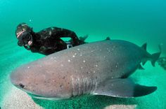 Cow Shark | Diving with the Seven-gill Cow sharks, image courtesy of Animal Ocean