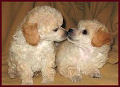 Toy Poodles !                                                                                                                                                                                 More