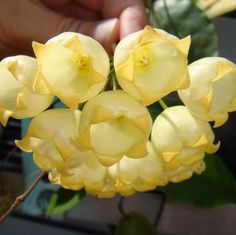Hoya inflata (Madangia) Cutting IML 1076 : Buy Hoya Plants Online in Many Species from SRQ Hoyas Today! Unusual Flowers, Unusual Plants, Exotic Plants, Cool Plants, Tropical Plants, Amazing Flowers, Beautiful Flowers, Terrarium Plants, Garden Plants