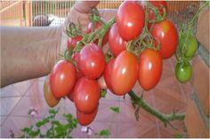 Como plantar tomate em garrafa pet. Você vai adorar! Dicas do mundo feminino traz este post com a melhor maneira