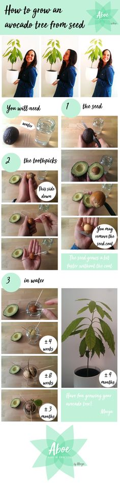 DIY - Avocado tree - How to grow an avocado tree from seed Hope this post helps you to grow your avocado tree. It needs a lot of light and water on the land and on the leaves, you may spray water on the leaves. I am looking forward to seeing your avocado seeds and trees and to answer all your questions :) Yours, Aboe by Marga #avocadotree #growingplant #avocadofromseed #seed #plant #insideplant #aboebymarga