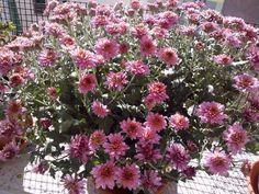 #Crisantemi