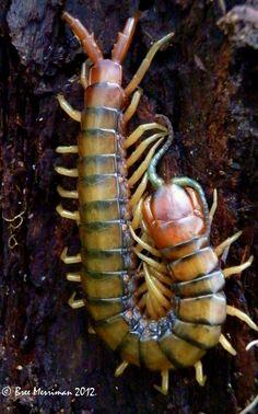 Orange-footed Centipede