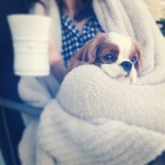 Morning Coffee ~ Finley ~Cavalier King Charles