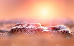 Sunbathing - Female common adder (Vipera berus) photographed in sunset light in Maramures Mountains