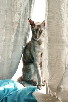 Faolan (Oriental Shorthair in black smoke); more pictures of all my cats are here: (submitted by thesilverpaws I Love Cats, Crazy Cats, Cute Cats, Pretty Cats, Beautiful Cats, Devon Rex, Chat Oriental, Kittens Cutest, Cats And Kittens