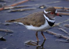 Three-banded Plover, (or Three-banded Sandplover), Charadrius tricollaris at Rondebult Nature Reserve   by Derek Keats