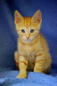 Résultats de recherche d'images pour «chat couleur sable»