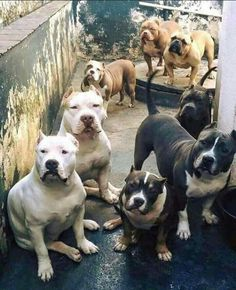 Staffordshire pits...beautiful and loving dogs