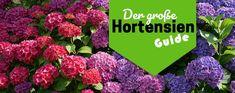So geht Hortensien Pflege in 2020 ✿ Hortensien Arten & wie man sie zurückschneidet ✿ Hortensien mit Stecklingen vermehren ✿ Tipps für den Winter