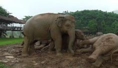 Finding happiness in the little things.  RESCUED ELEPHANTS GET EXCITED BY THE RAIN