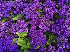 Heliotrope: rich color for SHADE plants.