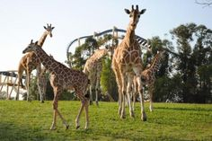 It's time to name our newest baby giraffe at Busch Gardens Tampa... and YOU will have a chance to choose the baby's name! Stay tuned to our blog and Facebook page next week so you can take part in the Baby Naming Poll.