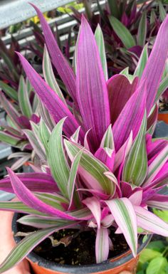 Rhoeo spathacea 'Tricolor' is a bromeliad looking plant in the Commelinaceae (wondering Jew) family. Plants grow in clusters and from flowers that are in a cupped up structure. Giving this one the common name (Moses in the cradle). Purple Plants, Pink Plant, Purple Garden, Colorful Plants, Exotic Plants, Tropical Garden, Tropical Plants, Succulents Garden, Planting Flowers