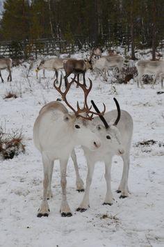 Sven's relatives - who does not love reindeer babies!  Reindeer babies, Finland