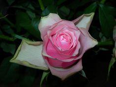 Prachtige Roos.
