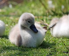 swan baby - Google 검색