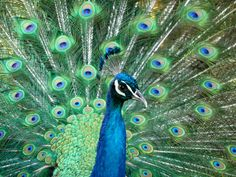 https://flic.kr/p/55TdHP   Male Peacock With Feathers In Full Strut   I took one last trip to the peacock pen across the road from the Dairy Queen in Grafton, WV. I was told it might not be there much longer. As a special treat, the mail decided to strut his stuff. Awesome display.