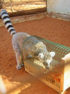 Engaged with enrichment at the Reniala Lemur Rescue Center
