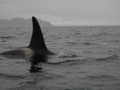 Orcas seen off Burgeo, Newfoundland by Trent Ricketts on May 20, 2014.