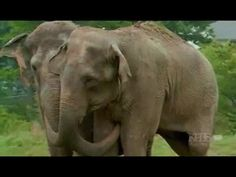 Two circus elephants reunited after 22 years apart at the Tennessee Elephant Sanctuary. : Two circus elephants reunited after 22 years apart at the Tennessee Elephant Sanctuary. Elephant Gif, Elephant Facts, Elephant Love, Indian Elephant, Cute Baby Animals, Animals And Pets, Funny Animals, Happy Animals, Wild Animals