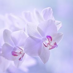 Orchid; photograph by Gusti Yogiswara
