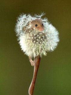 fieldmouse in a dandelion