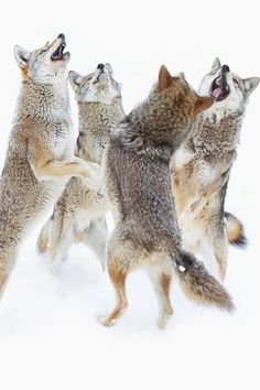 Coyote Sing-along | Jim Cumming https://500px.com/photo/65882629/coyote-sing-along-by-jim-cumming