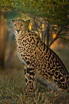 King Cheetah by Christopher R. Gray, via 500px