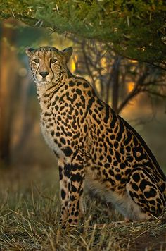 King Cheetah by Christopher R. Gray, via 500px