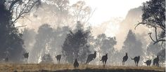 Canberra Times readers Winter photocomp 2014- Raluca Bellenger- Sunrise kangaroo.