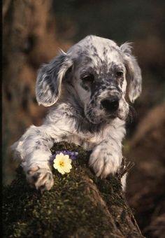 English Setter  ~ Puppy