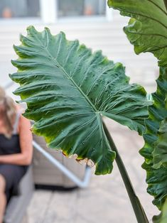 Elephant ear plant care guide: everything you need to know to grow colocasia, alocasia, caladium, and canthosoma