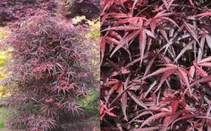 Hubb's Red Willow is is a rare Japanese Maple with marvelous purple-red leaves that resemble dainty bamboo. Mermaid Illustration, Buy Plants Online, 2 Gallons, Acer Palmatum, Spring Plants, Red Leaves, Japanese Maple, Plant Sale, Garden Plants