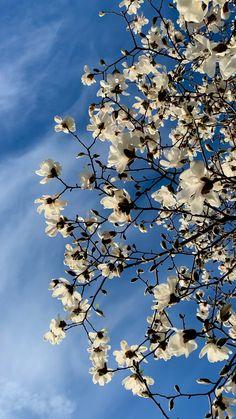 Yulan magnolia 🤍